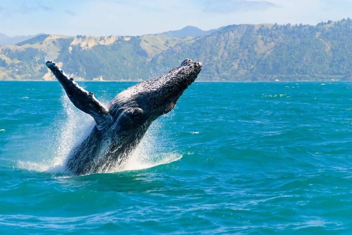 orcas grays humpbacks