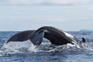 Breaching Is a Behavior That You Might See When You Go Whale Watching