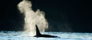 Keep in Mind Some San Juan Islands Whale Watching Tips for Your
